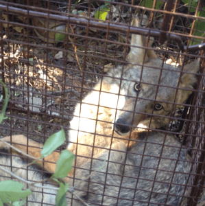 coyote-removal-services