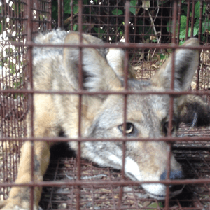 coyote-trapping-amp-removal