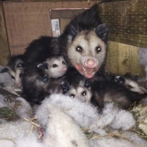 opossums-in-the-attic