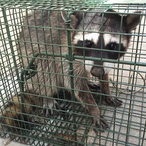 riverside-ca-raccoon-removal-amp-control