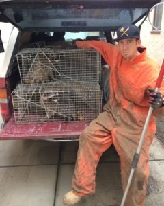 raccoon-trapping-and-removal-by-urban-wildlife-trapping-experts-