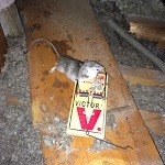 rat-rodents-in-the-attic